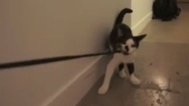 Clever cat shows how to walk a human