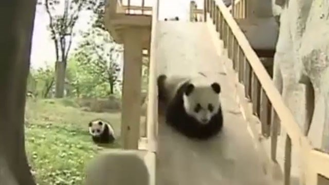 Video: Adorable pandas take turns on slide